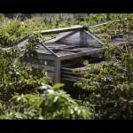 Visita guiada al Cultivo de café ( Finca Los Castaños- Agaete)